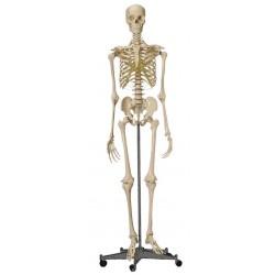 Squelette standard sur pied roulant 180 cmAuluga Services – Matériel Médical