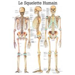 """Planche Anatomique """" Le Squelette Humain """"Auluga Services – Matériel Médical"""