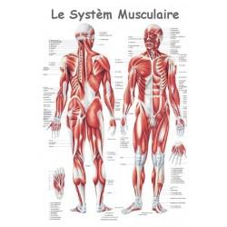 """Planche Anatomique """" Le Système Musculaire """"Auluga Services – Matériel Médical"""