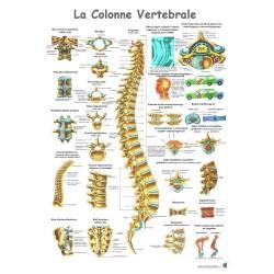 """Planche Anatomique """" La Colonne Vertebrale """"Auluga Services – Matériel Médical"""