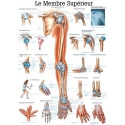 """Planche Anatomique """" Le Membre Supérieur """"Auluga Services – Matériel Médical"""