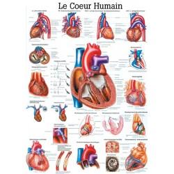 """Planche Anatomique """" Le Coeur Humain """"Auluga Services – Matériel Médical"""